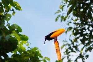 Tolvtrådig paradisfågel